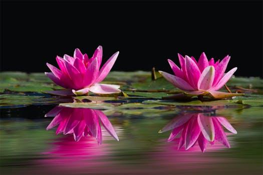 water-lilies-pink-water-lake-46231.jpeg