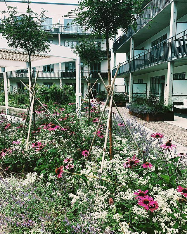 Sensommaräng på bjälklagsplantering i stadsmiljö. Hårt möter mjukt. I upphöjda växtytor med sarger av cortenstål och betong blommar det från tidig vår till sen höst. Vi är stolta och glada över att ha fått förtroende att formge, anlägga och nu sköta denna oas🌞 #trädgårdsdesign #formgivningträdgård #trädgårdsanläggning #växtkomposition #trädgårdsskötsel #gunillawelinbrookträdgårdskonsult  foto:Anna Brook