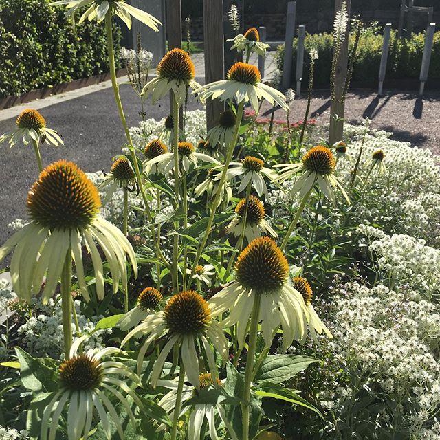 Godisväxter för fjärilar, humlor och bin. Det fladdrar, hummar och surrar kring solhattar, flocklar, hortensior, ulleternell, kärleksört, stenkyndel, temynta, astrar, röllikor, nepeta och bolltislar. Var är vi? Jo, på Almvägen förstås! I dag bossade vår fina Anna för rensning och luckring bland surrande insekter. #echinaceapurpureaalba #clinopodiumnepeta #anaphalistriplinervissommerschnee #eupatoriumpurpureum #trädgårdsskötsel #växtkomposition #fjärilsväxter #humlorbinochfjärilar #gunillawelinbrookträdgårdskonsult #gavlegardarna