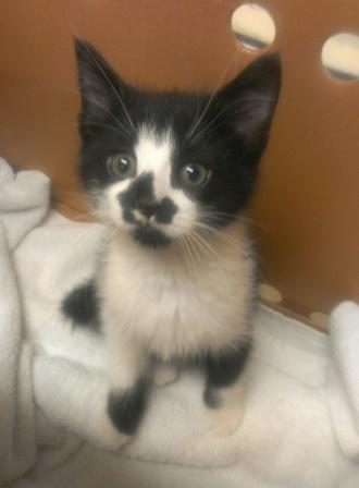 Majic Kitten SPCA.jpg