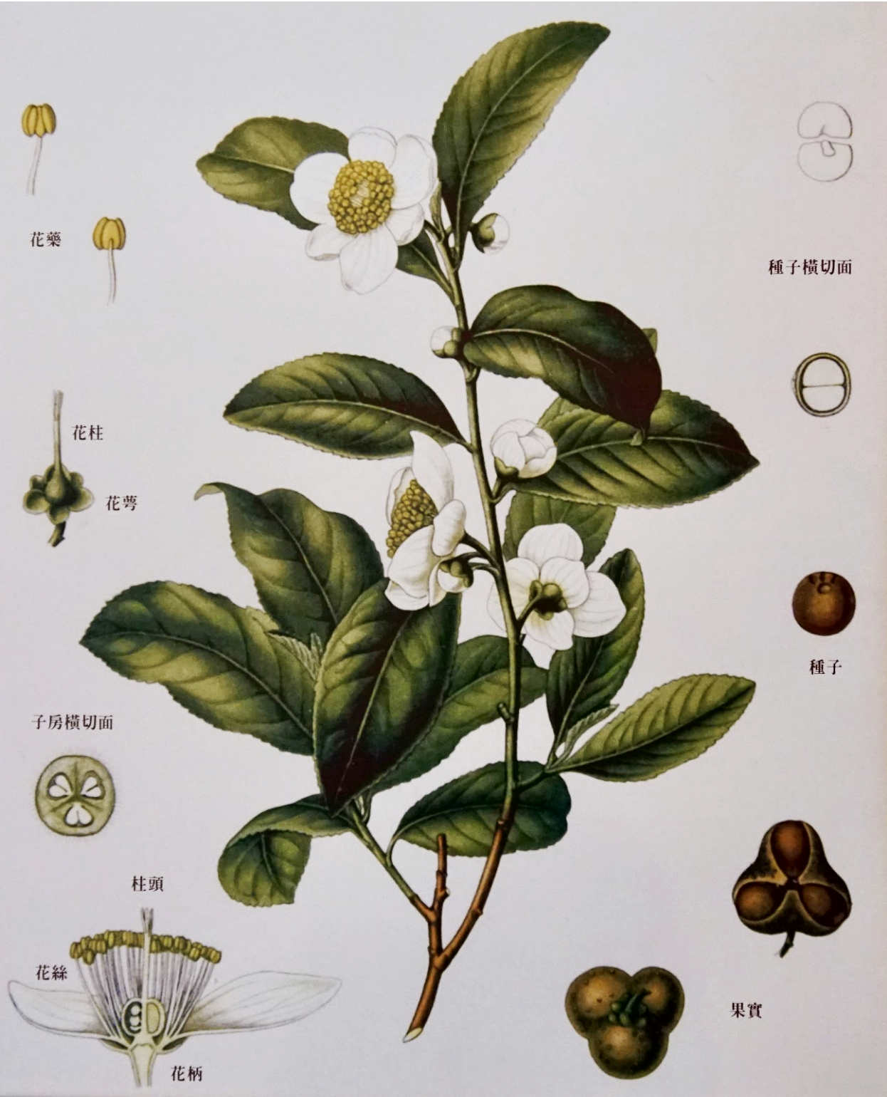 Image of a Camellia Sinensis Tea Plant displayed at the Pinglin Tea Museum in Taiwan.