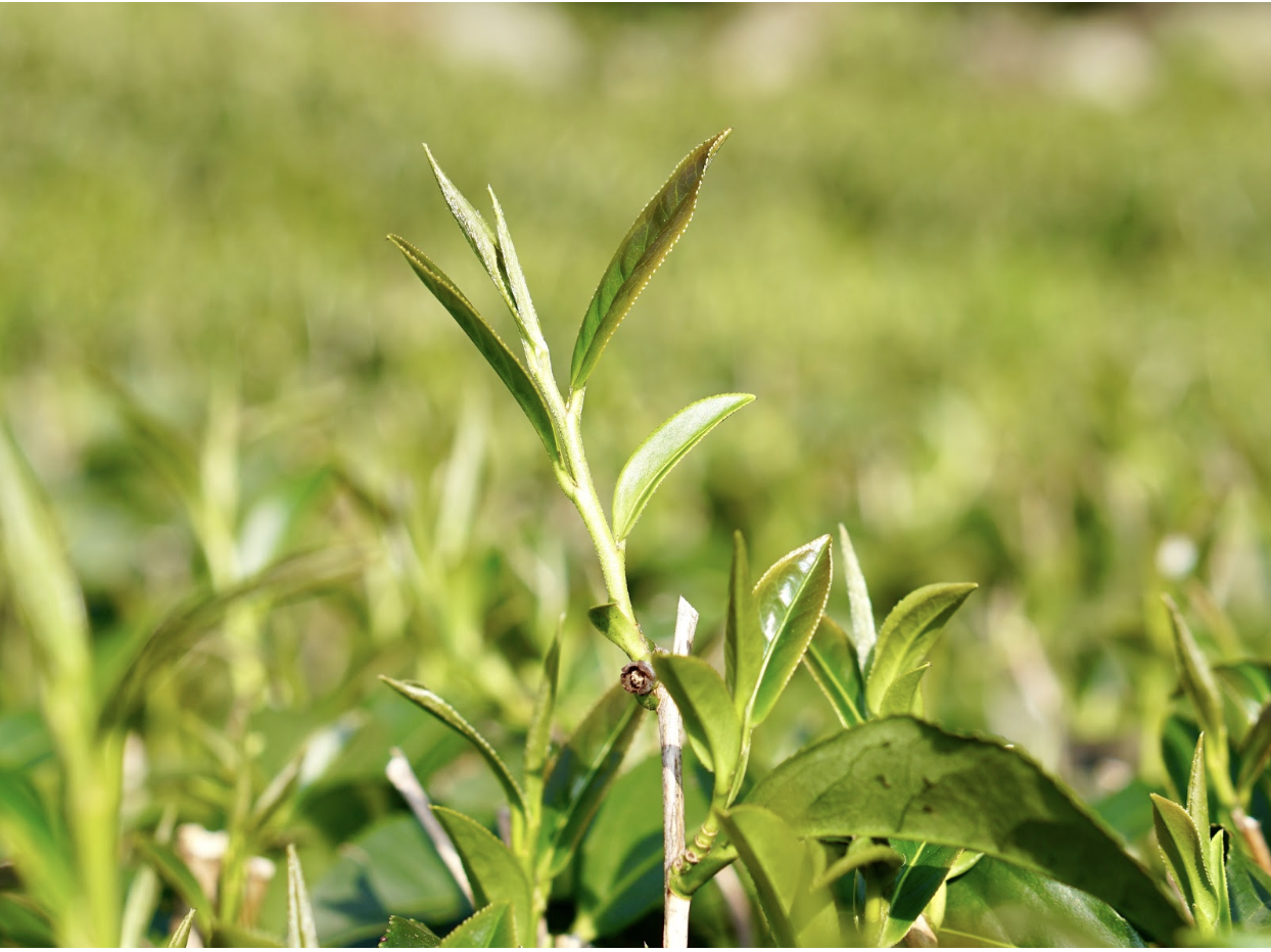 Picture of a Camellia Sinensis Tea Plant