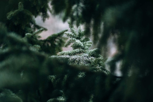 frosted_spruce.jpg