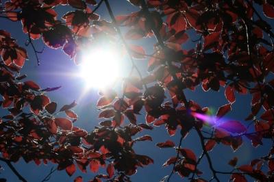 Copper Beech leaves.jpg