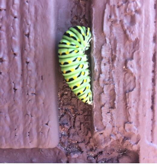 butterfly catapillar.jpg