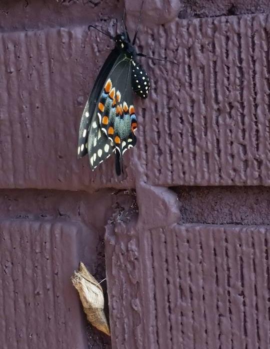 emrgent butterfly.jpg