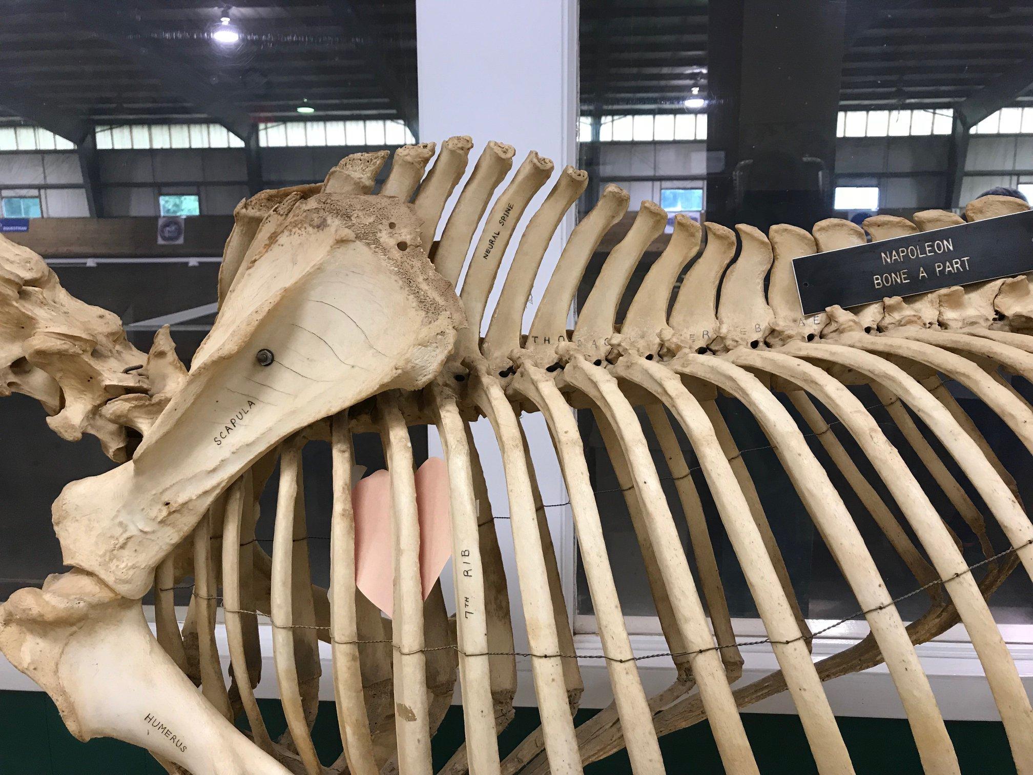 Horse Skeleton.jpg