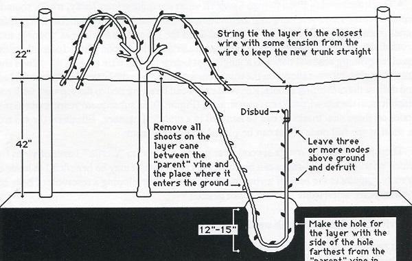 Layering of a Grapevine. By Pearson Scott Foresman [Public domain], via Wikimedia Commons