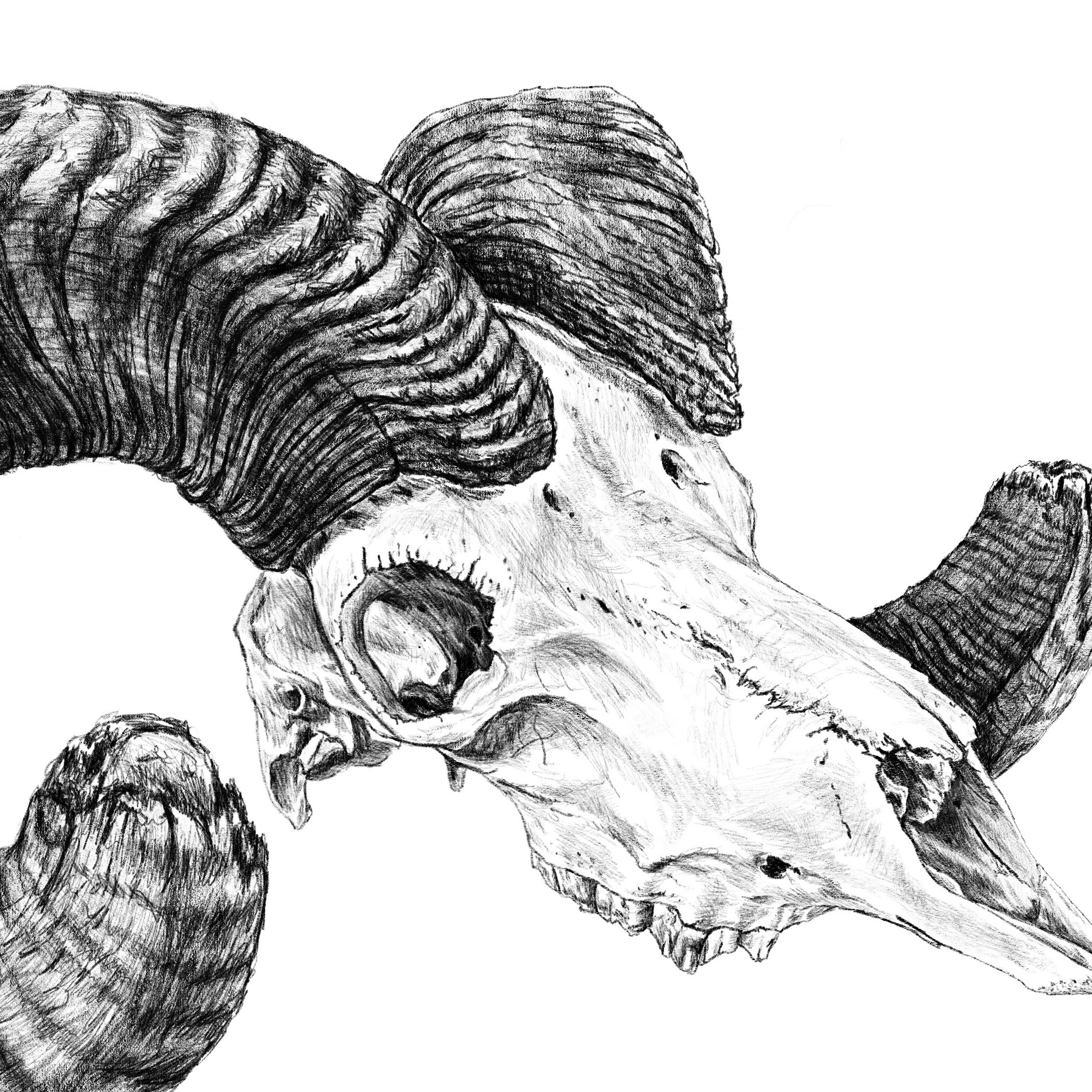 BIG HORN SHEEP   SOLD - COMMISSION