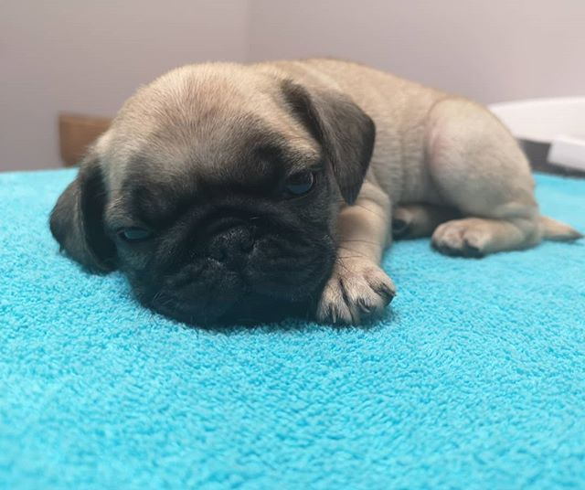 Cuteness overload!  #vetclinicsofinstagram #puppyvisit #thornhillvetclinic