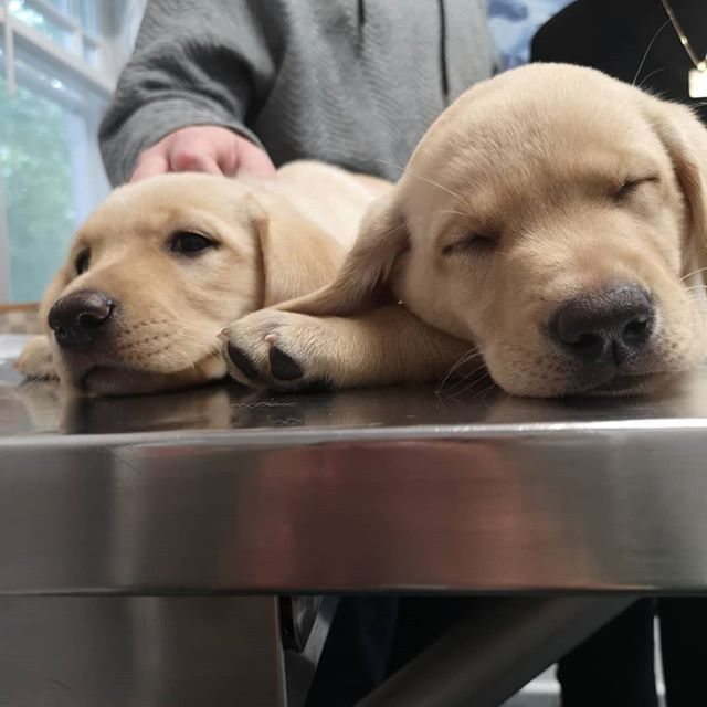 We saw some cute sleepy puppies today! #vetvisit #labrador #puppy #vetclinicsofinstagram #thornhillvetclinic @jaggeranddylan