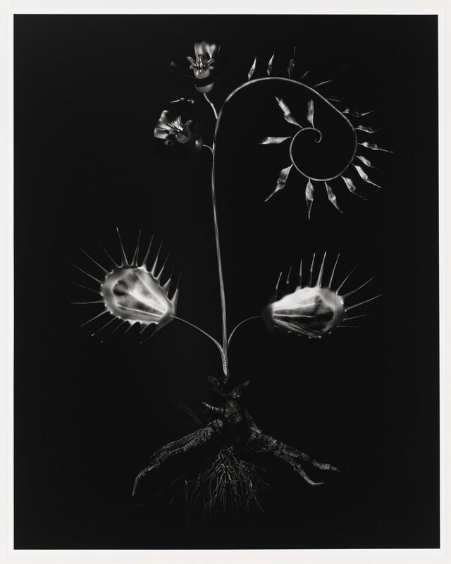 Miljohn Ruperto, Ulrik Heltoft, Voynich Botanical Studies, Voynich Botanical Studies, Specimen 56r Jaro, 2014. © Miljohn Ruperto and Ulrik Heltoft.