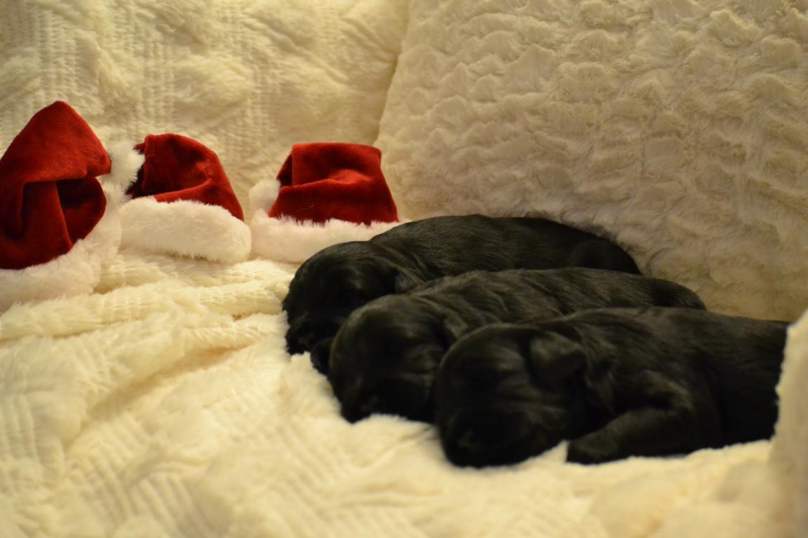 mini-Labradoodle-puppies