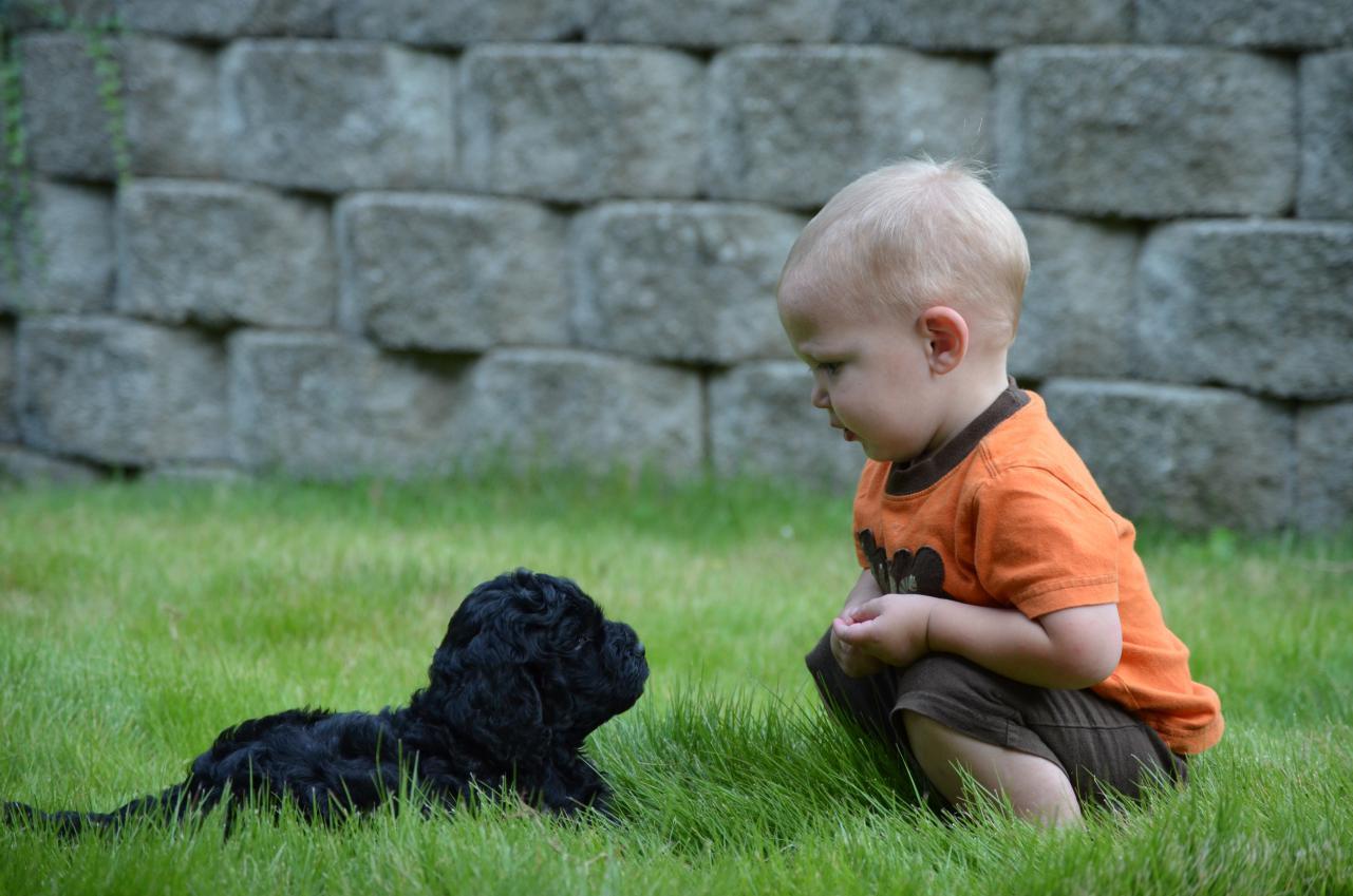 black-mini-labradoodle