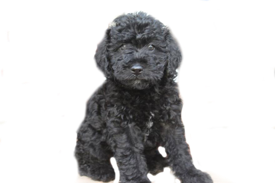 mini-Labradoodle-puppy
