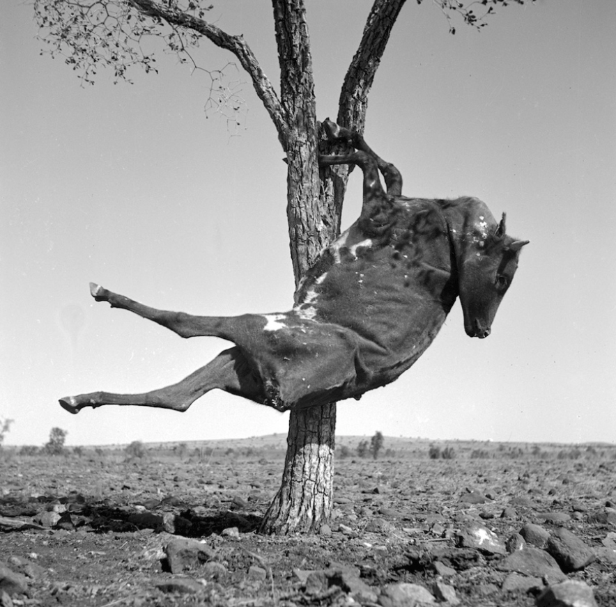 Figure 3. Sidney Nolan Dried carcass of a cow suspended in a tree, Queensland, 1952 © Sidney Nolan Trust
