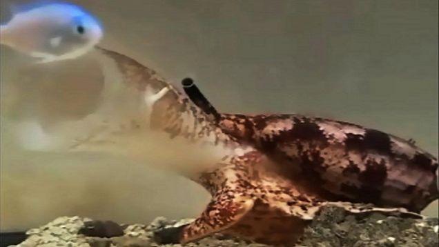 venomous-cone-snail.jpg
