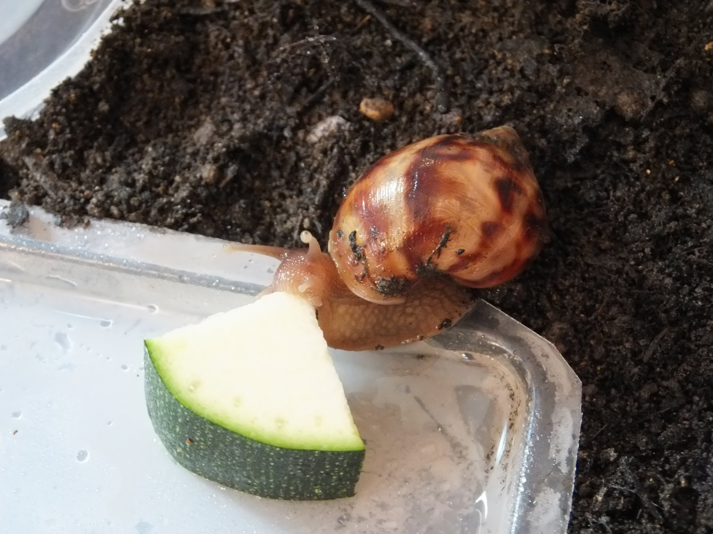 A GALS enjoying a piece of courgette.