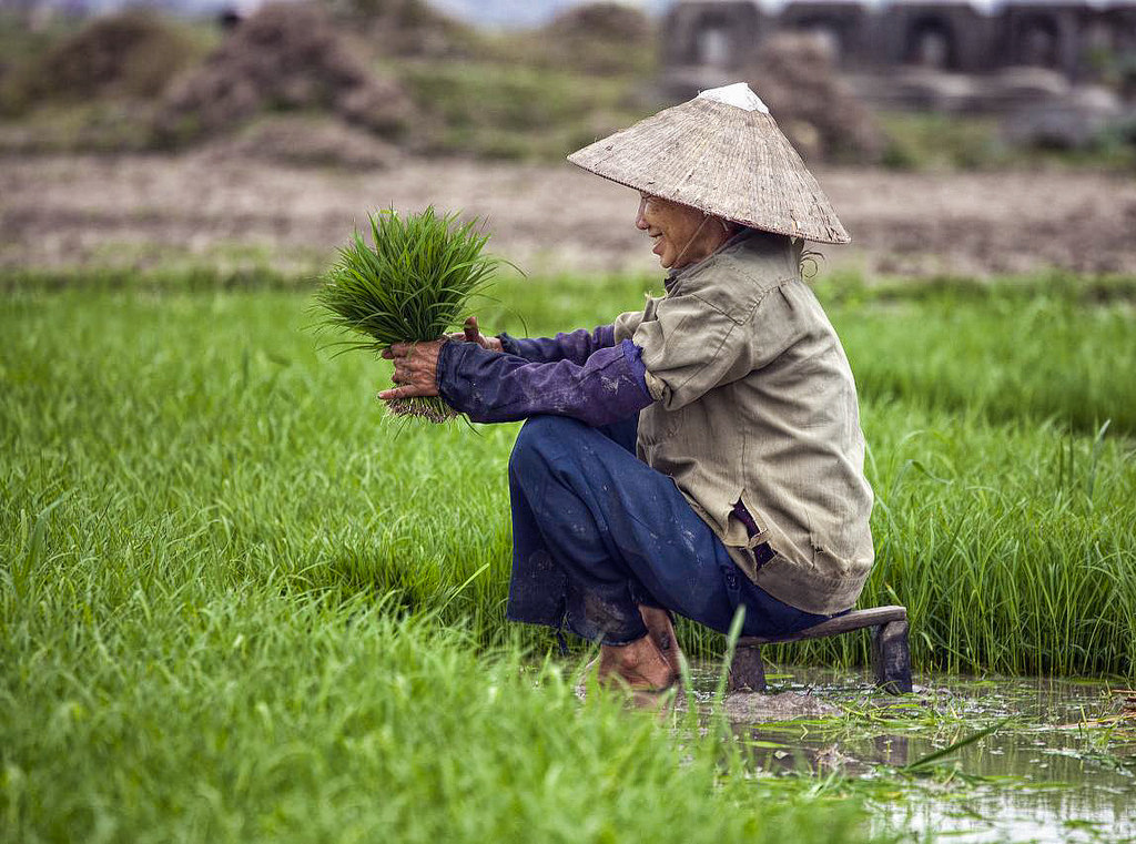 Rice field in Vietnam,  Christopher Michael , CC BY-NC 2.0