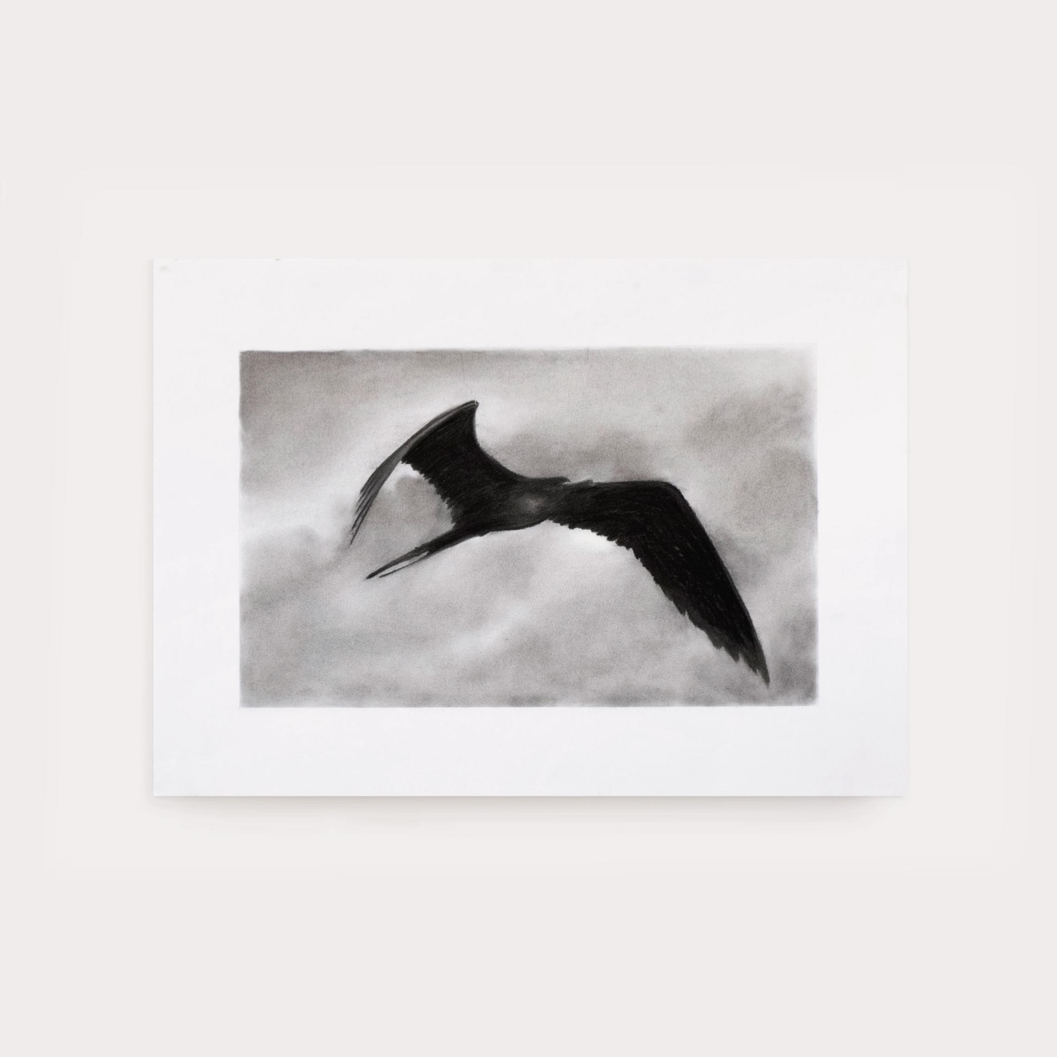 Frigate Bird Study