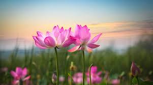 healing_yoga_for_sexual_assault_lotus.jpg