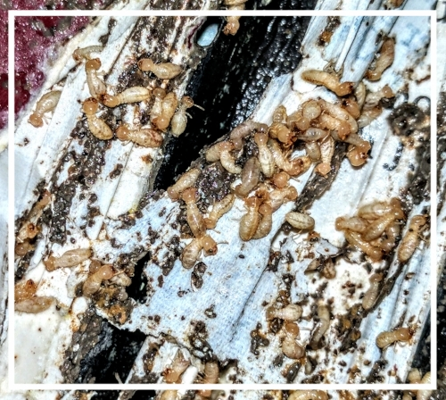 Wood Destroying Insects - Termites and Carpenter Ants can be scary! We know that you care about your home, business, or structure too much for it to be damaged by these pests. Don't wait for the damage to become detrimental. Call us at the first possible signs of termite infestation. Swarming insects are a sign of termite activity. Check out our blog for help in spotting termite activity. Protect your home from wood destroying insects. Ampulex also specializes in home inspections for wood destroying insect reports. The state of Ohio requires these WDIRs for every real estate transaction. We understand it pays to be thorough before you buy a home and you can trust Ampulex to do just that. We provide quality inspections, carpenter ant or bee control, and termite bait station installation that you can rely on at a reasonable rate. Contact us for a Free Termite Quote!