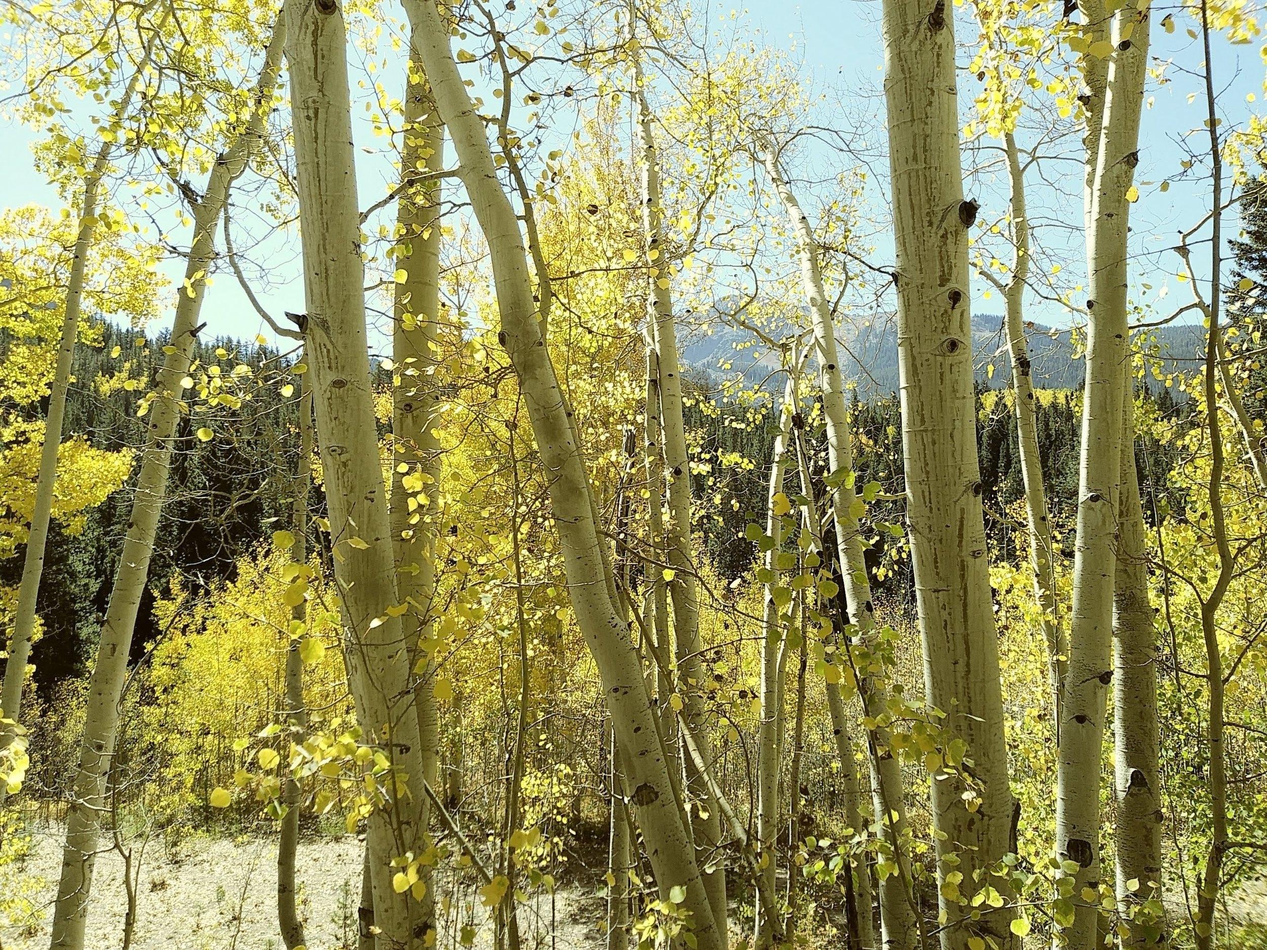 Aspen Trees (L. Kaufman).jpg