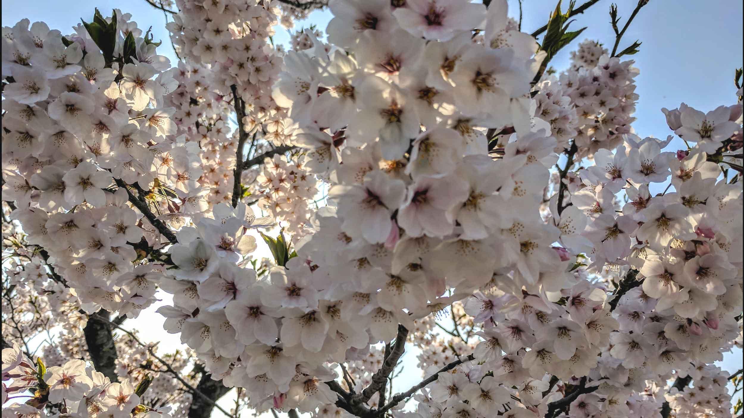 cherryblossom2.jpg