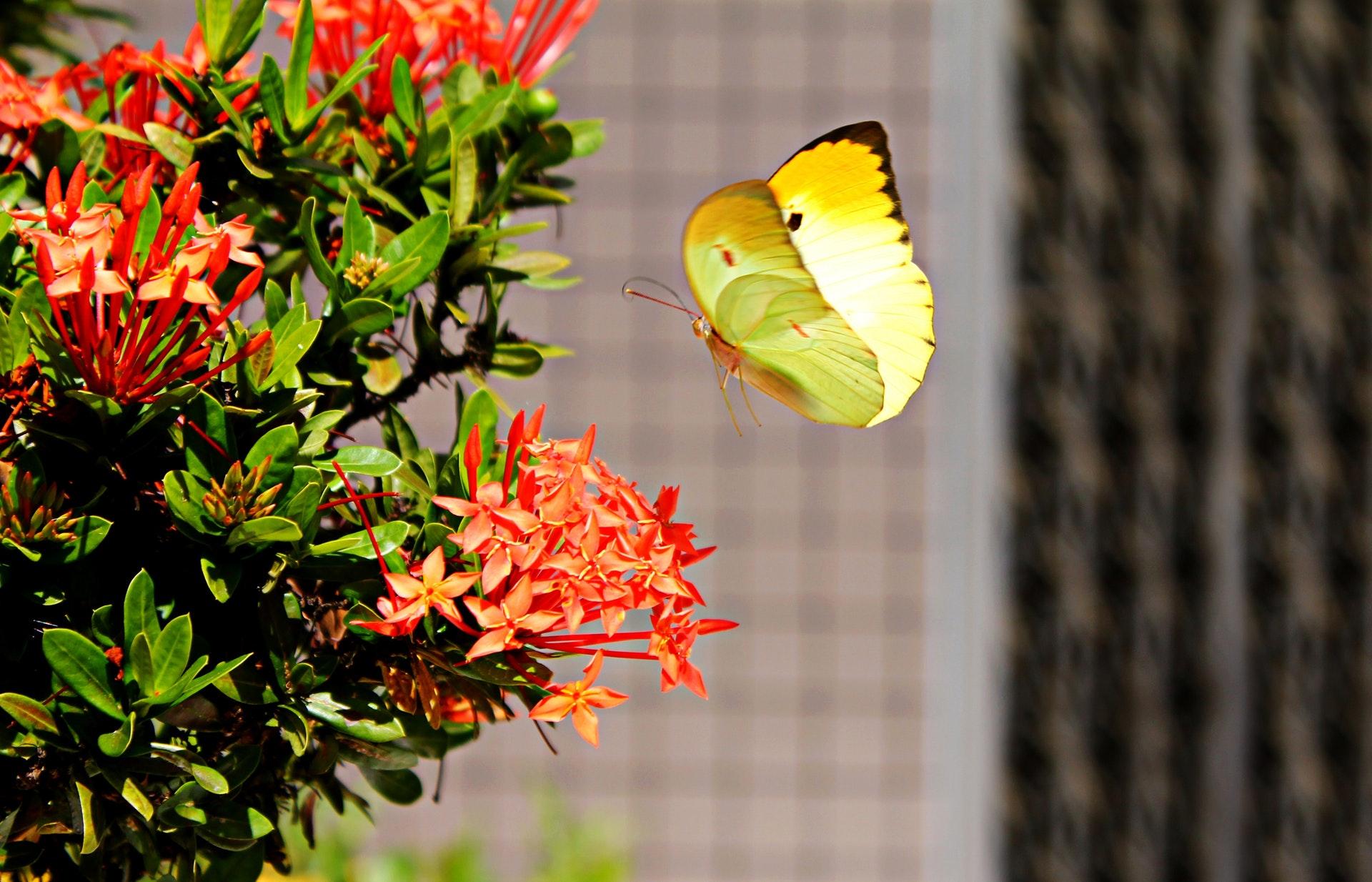 brimstone-butterfly-fly-land.jpg