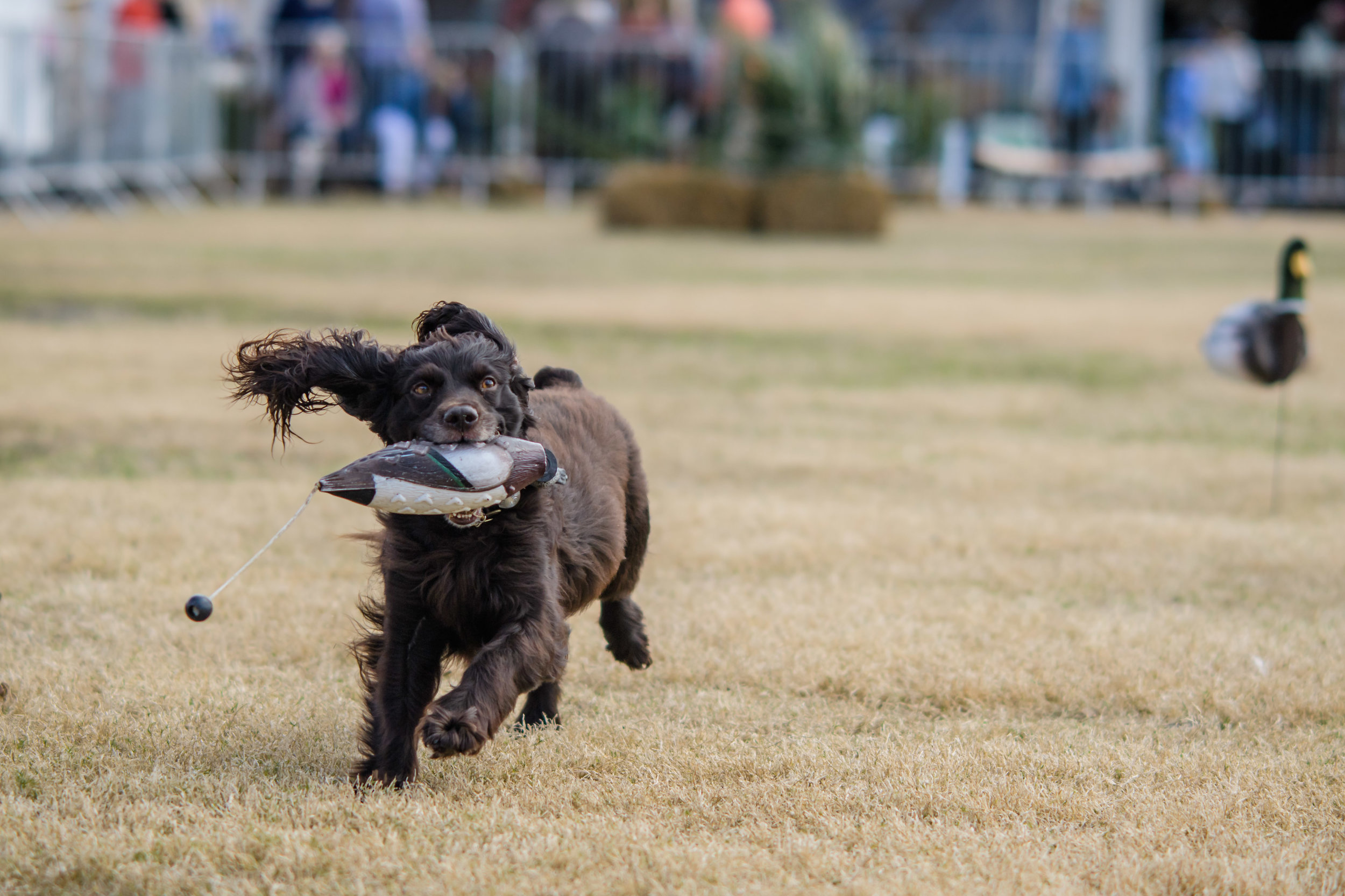 A dog participating in the Retriever Demo at  SEWE .