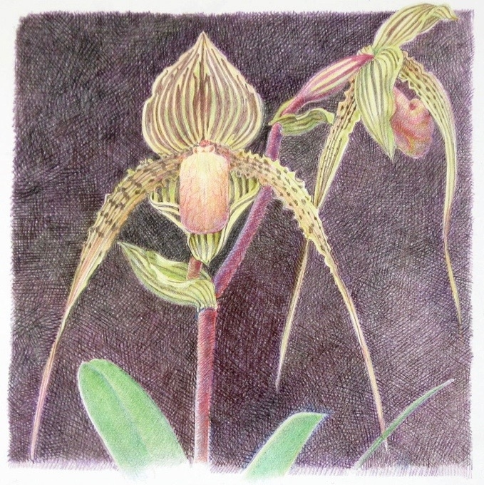 Lisa's Orchid