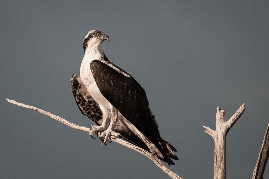 Osprey1.jpg