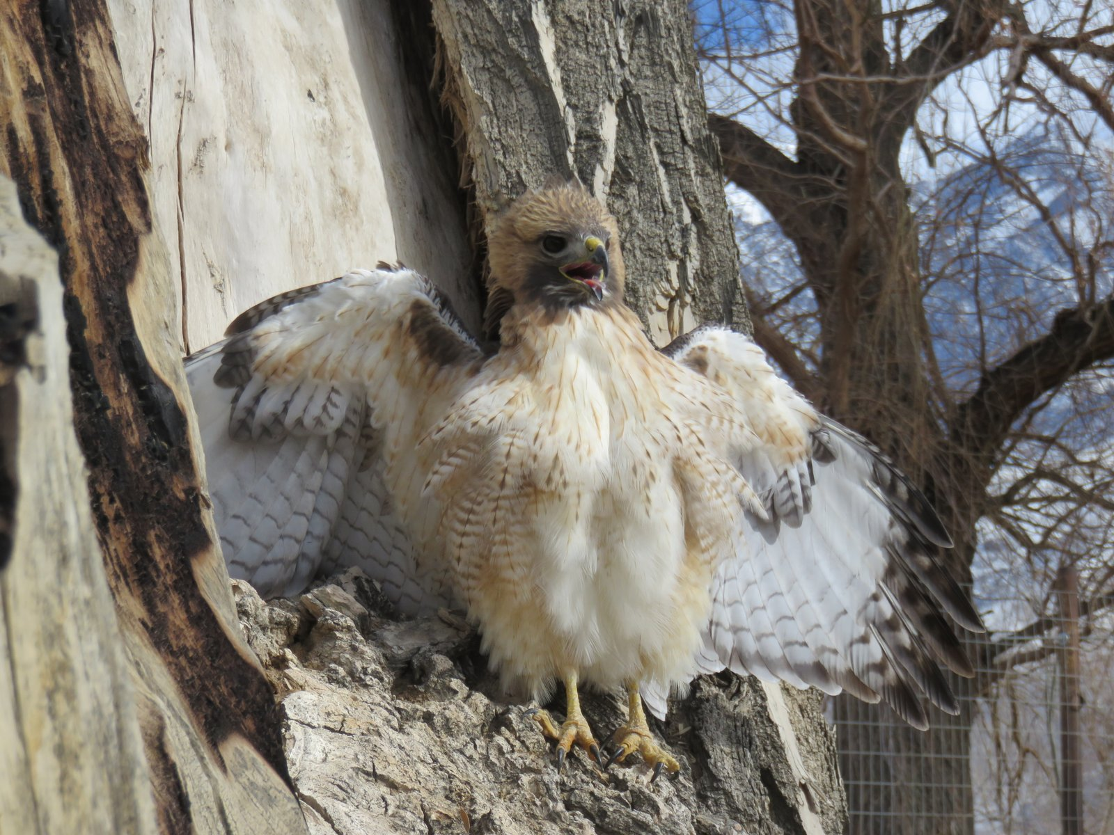 A fledgling red-tailed hawk.