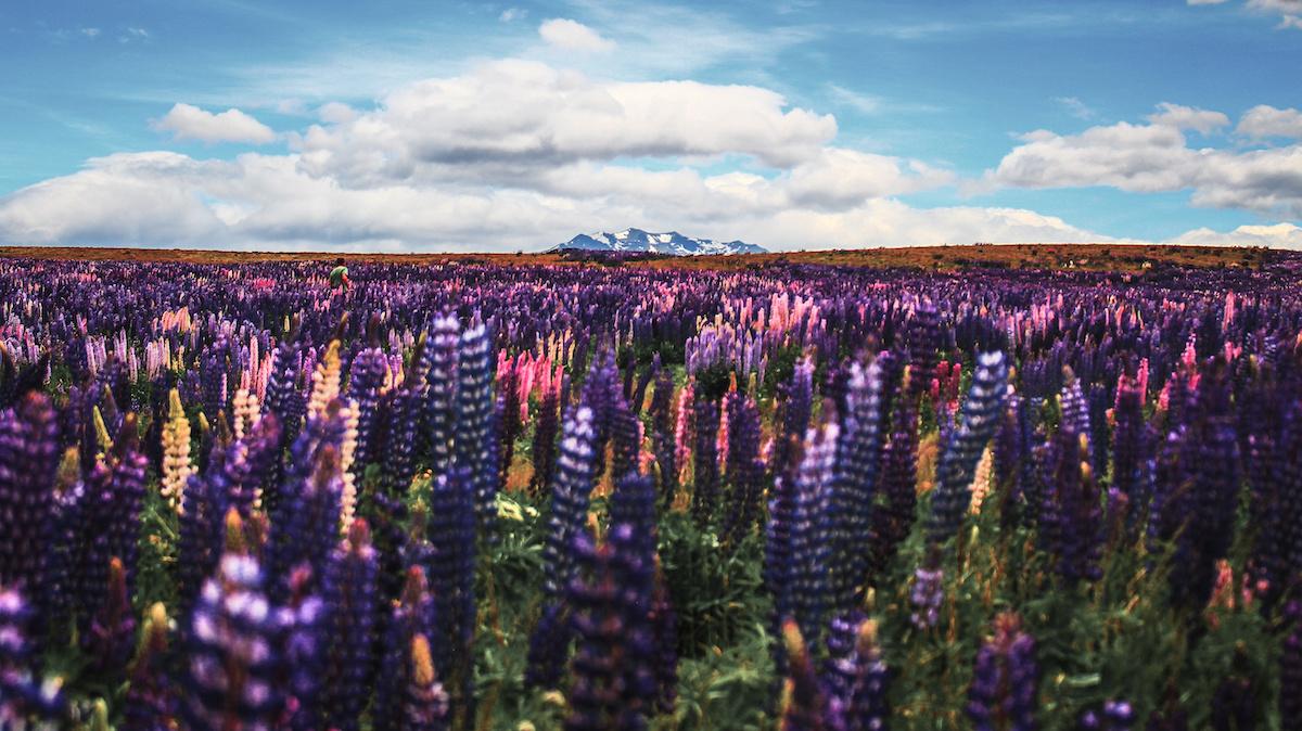 Lupins - Lupin Season - Pukaki - NZ