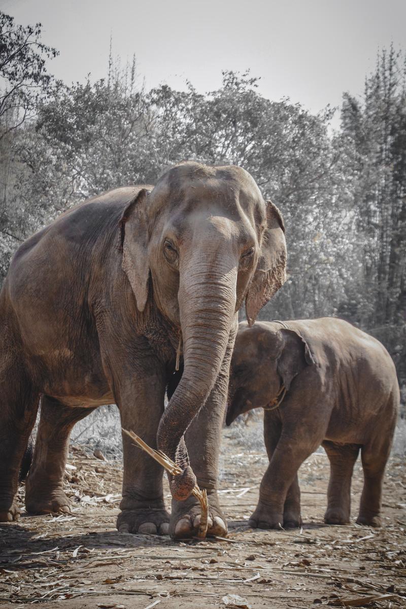 Elephant Sanctuary - Chiang Mai