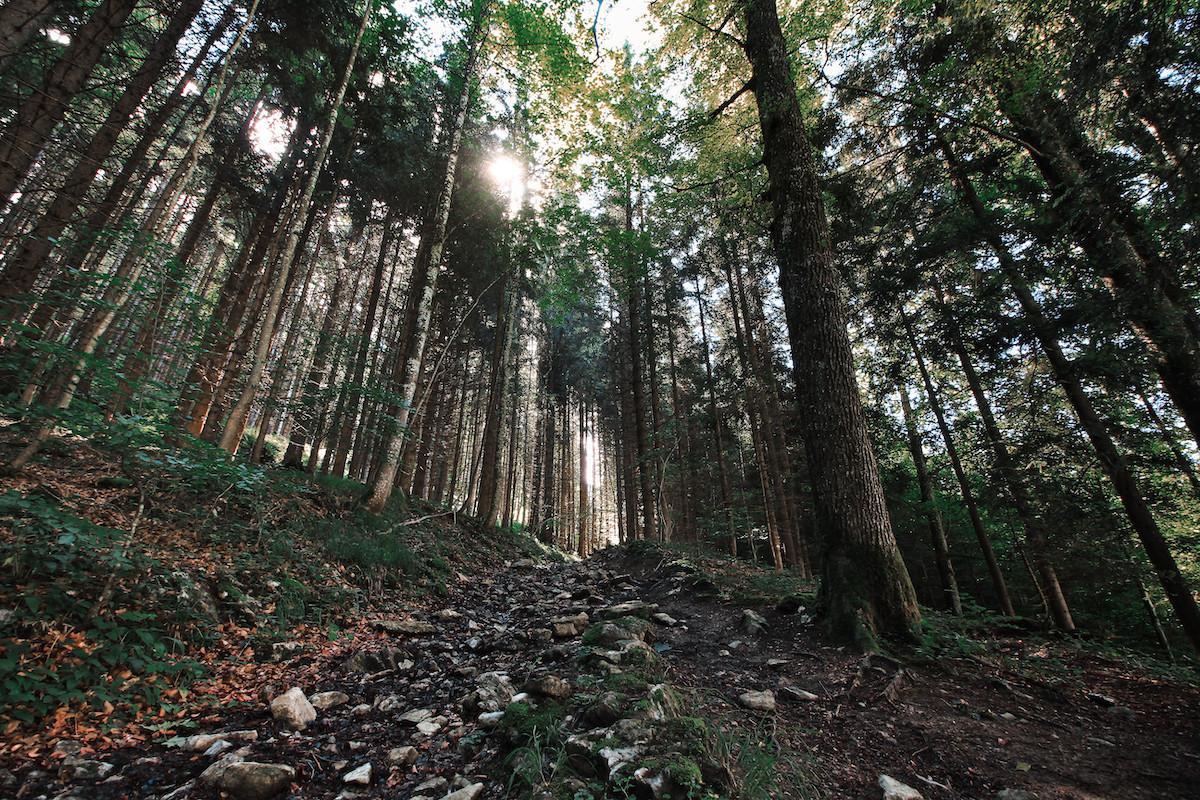 Schafberg Hike, Forest