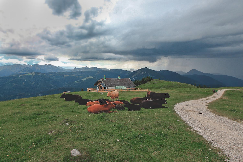 Mountain Cattle, Schafberg