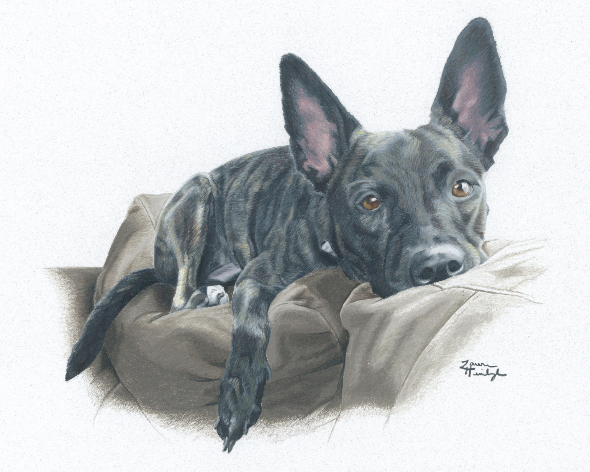 Ahsoka the Dutch Shepherd Mix (2014)