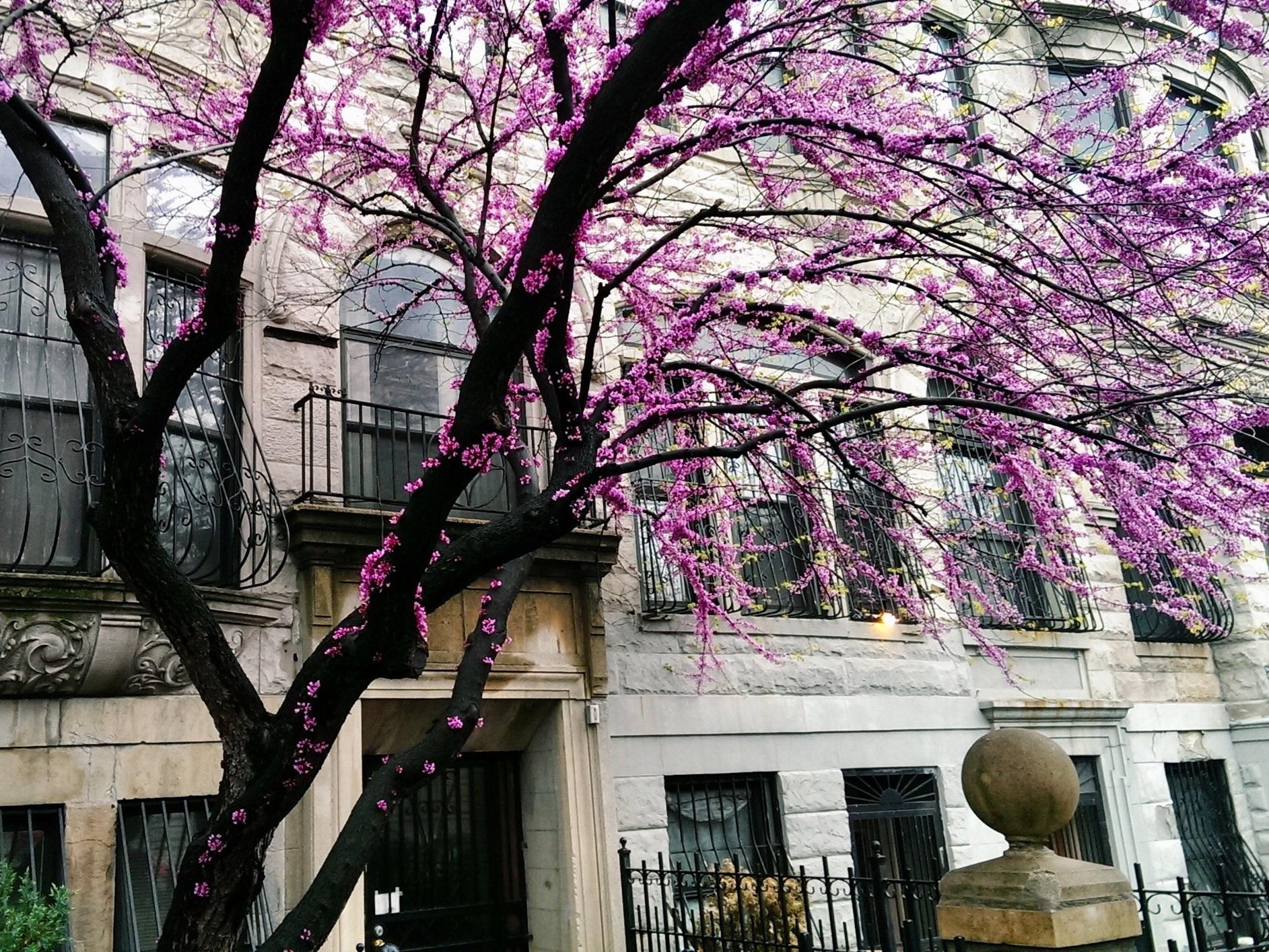 Spring Tree in Harlem