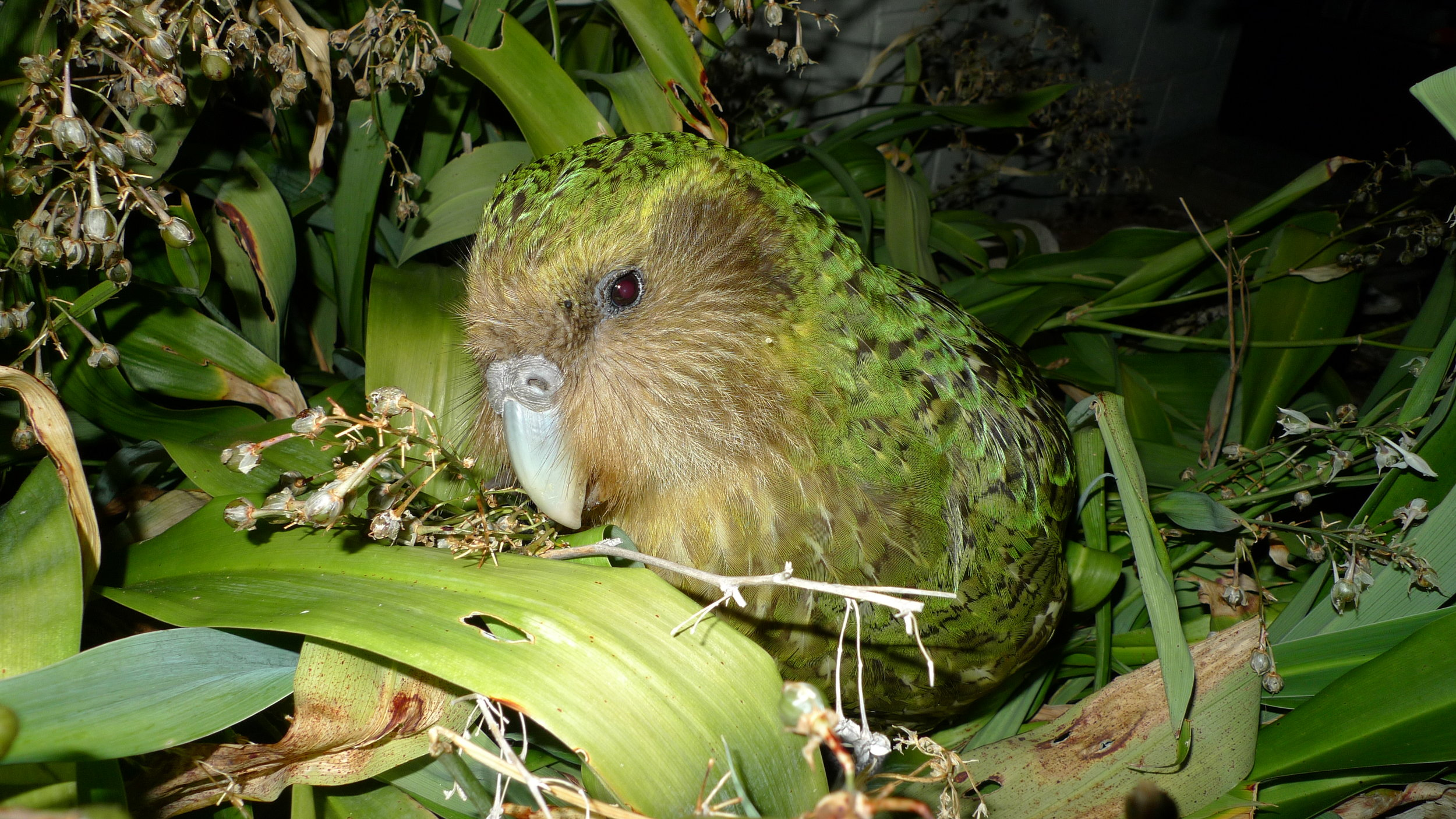 Sirocco Kākāpō.  Image by Chris Birmingham/Department of Conservation (CC BY 2.0).