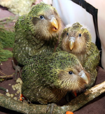 Kākāpō chicks.  Image by Dianne Mason/Department of Conservation (CC BY 2.0).
