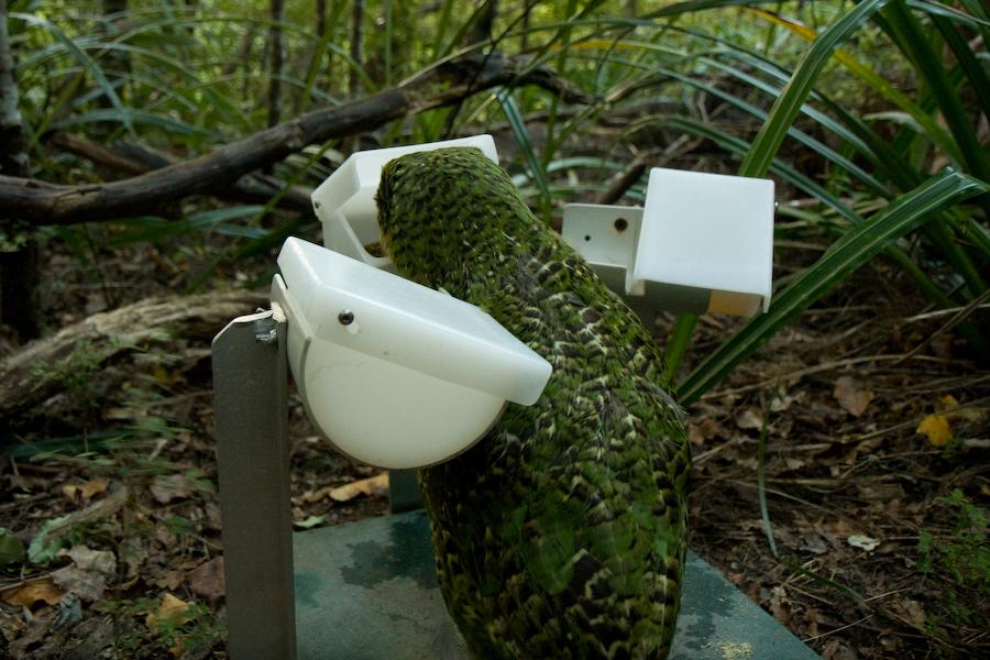 Kākāpō at a feeding station.  Image by Josie Beruldsen/Department of Conservation (CC BY 2.0).