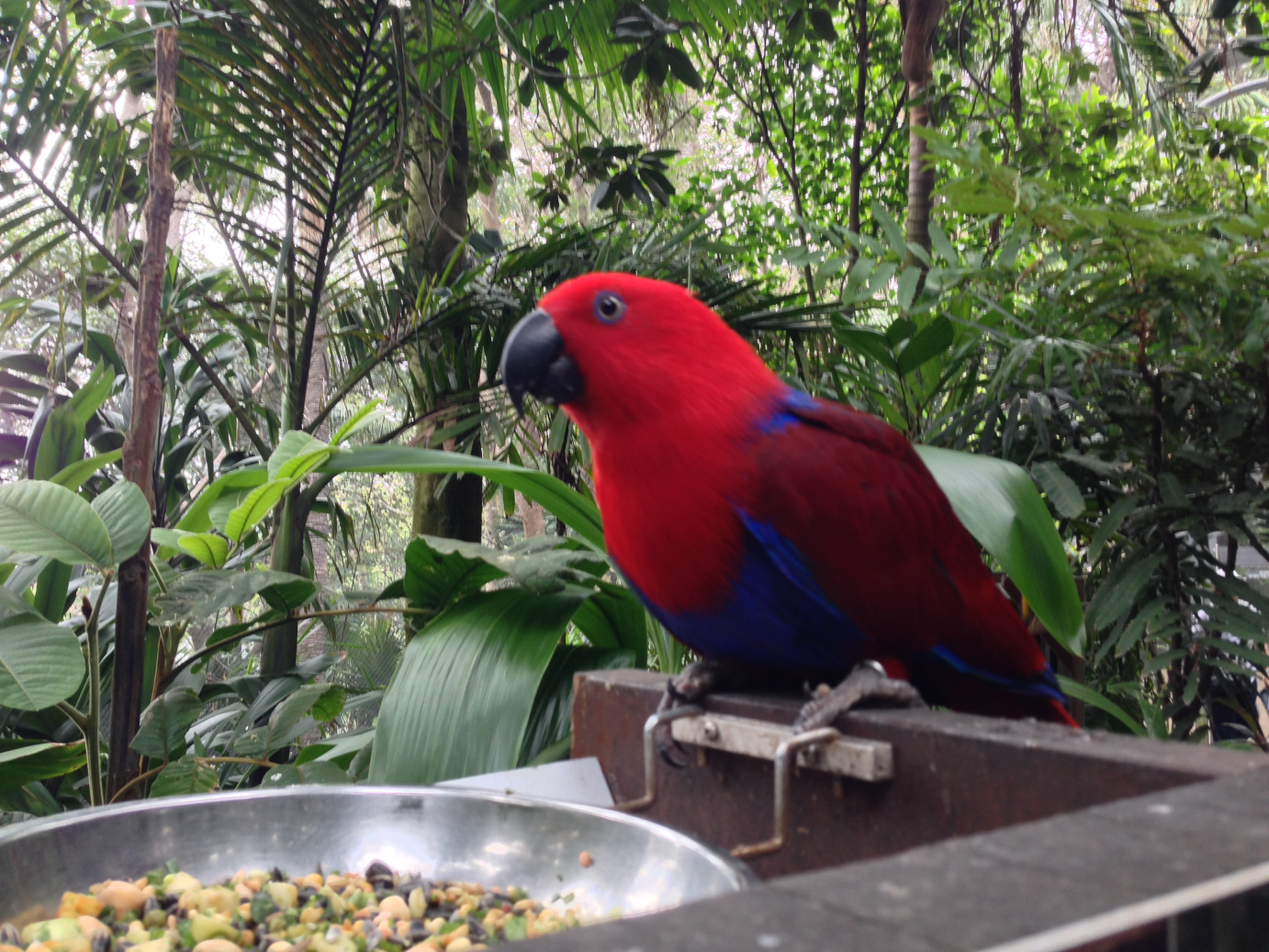 Beautiful female Eclectus parrot.