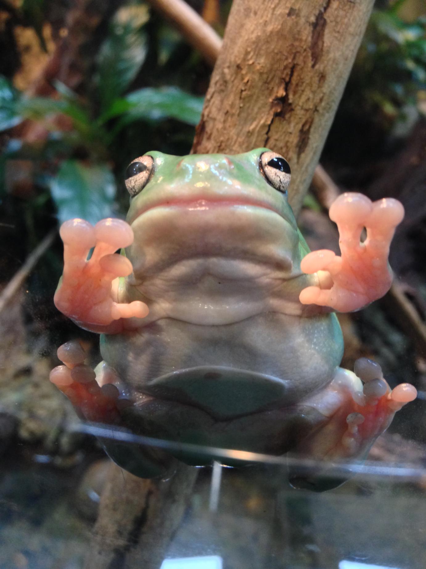 Sticky tree frog.