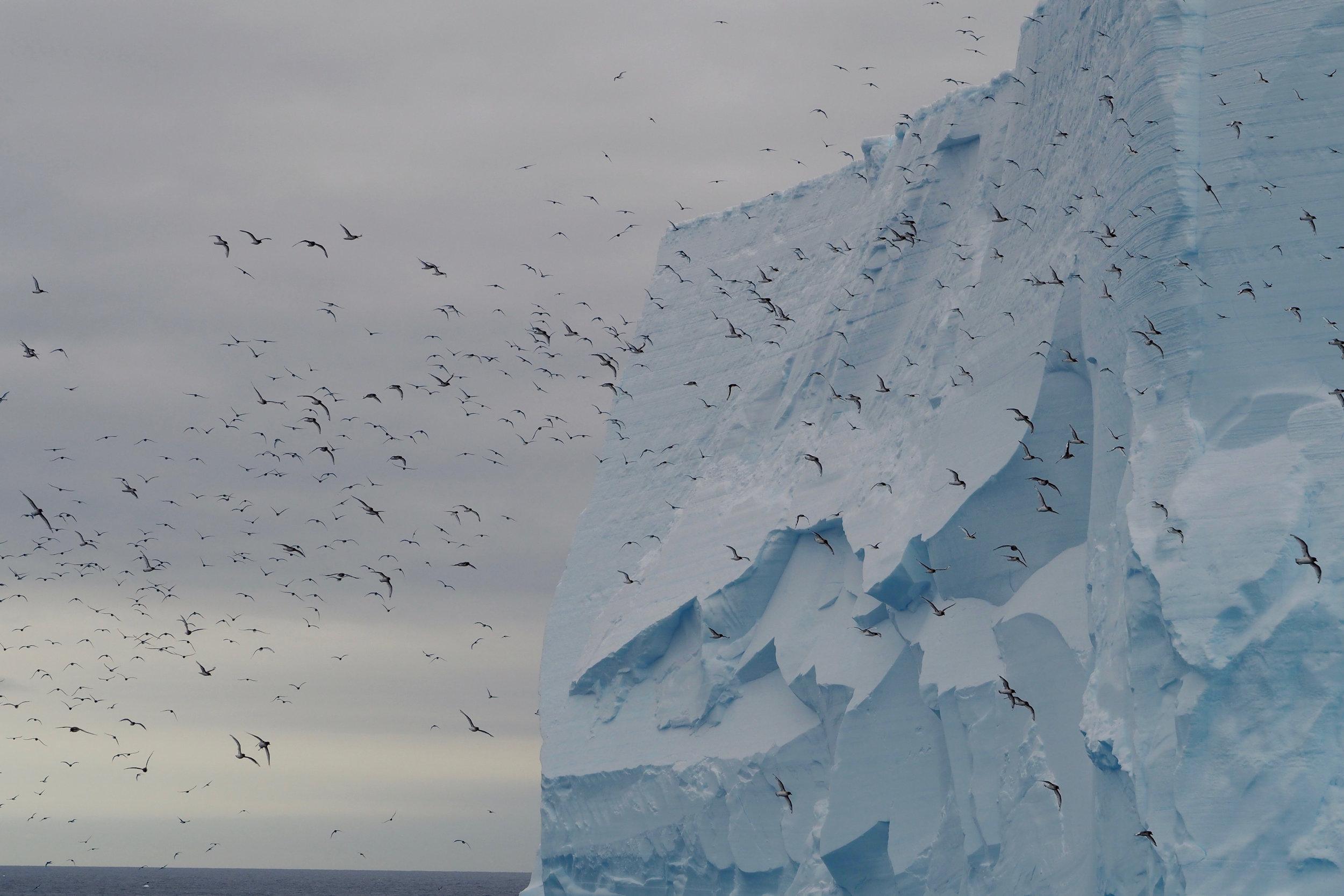 Antarctic petrels