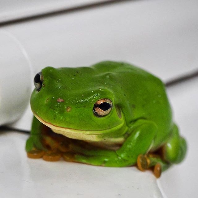 OCCUPIED ~~ nothing like a good loo frog to brighten your #FrogFriday 🐸  Australian green tree frog, Kutini-Payamu National Park