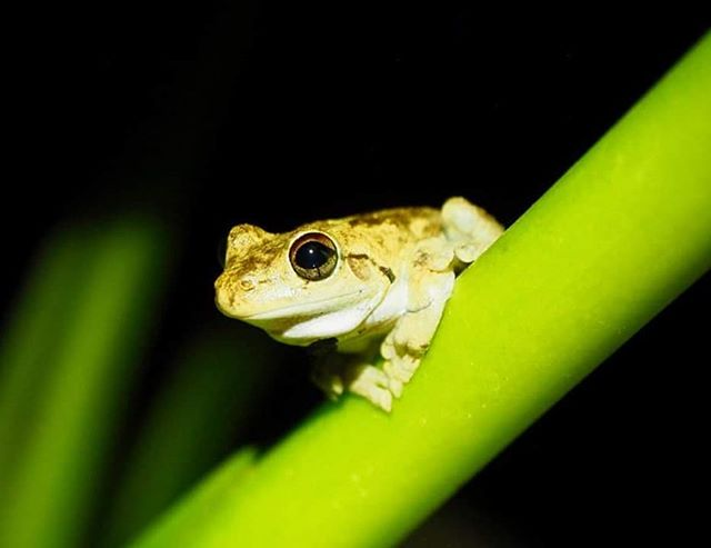 This cutie wasn't calling but I think it's a northern laughing tree frog (Litoria rothii) #FrogFriday