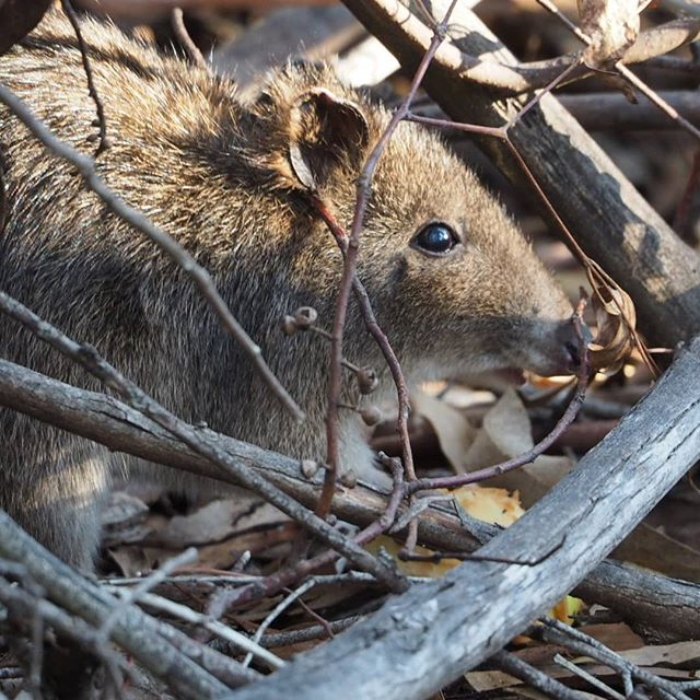 Long-nosed potoroo in the undergrowth #abcmyphoto #visitcanberra