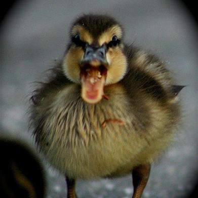 AngryDuck.jpg