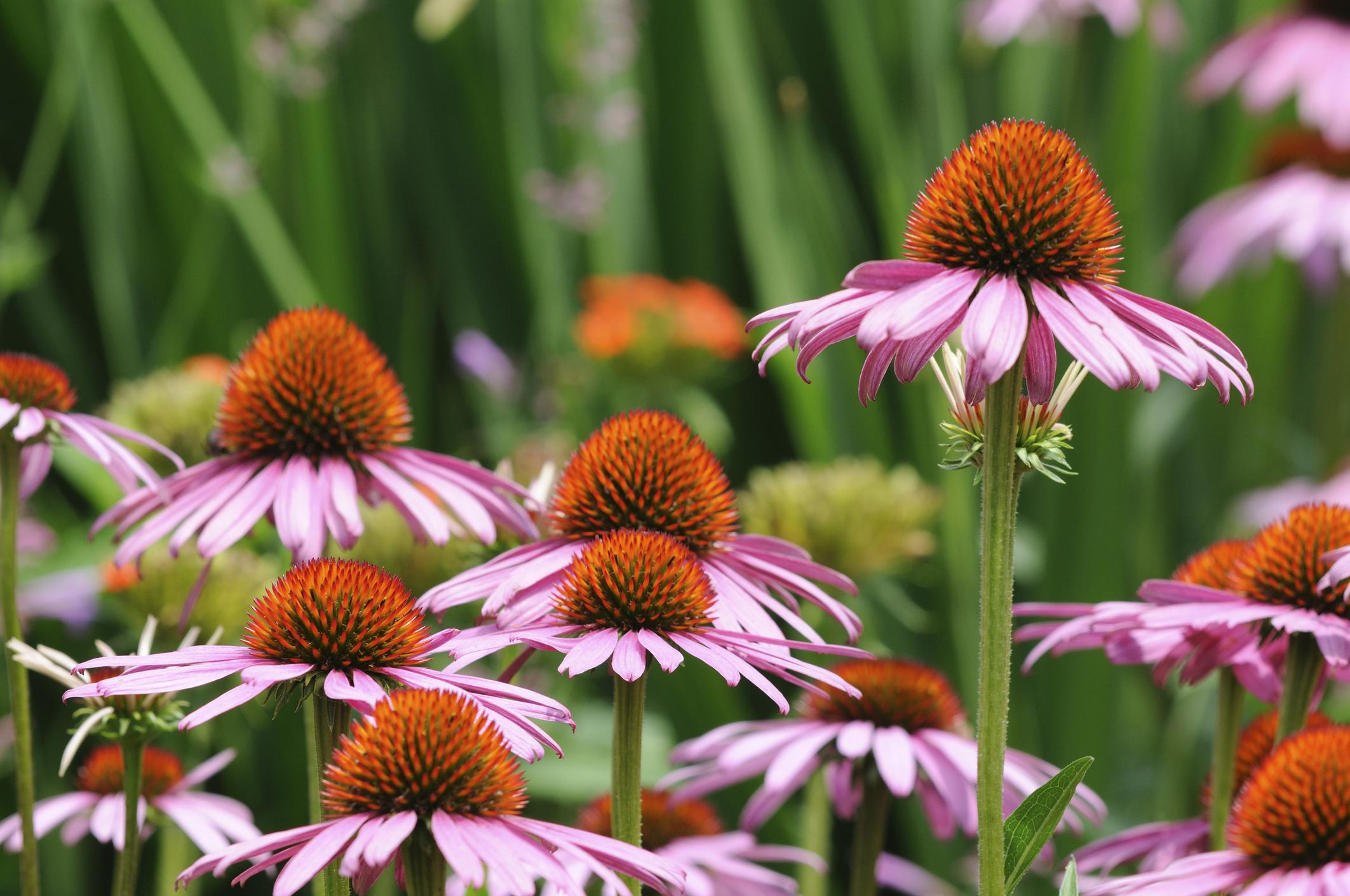 echinacea-flower-field.jpg